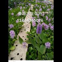 水葫芦苗_辽宁水生植物_辽宁水生花卉