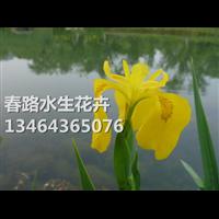 黄菖蒲苗_黄菖蒲水生植物