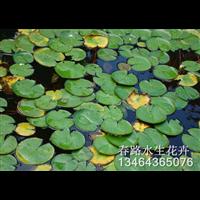 浮萍苗_辽宁水生花卉_东北水生植物