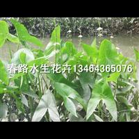 慈姑苗_春路水生花卉13464365076