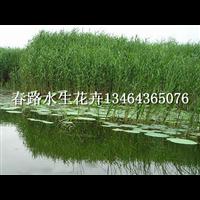 芦苇苗_春路水生花卉13464365076
