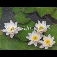 睡莲苗_春路水生花卉13464365076