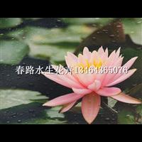睡莲苗(粉色)_春路水生花卉13464365076