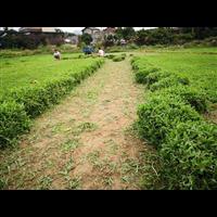 惠州大叶草哪家好-惠州大叶草种植基地