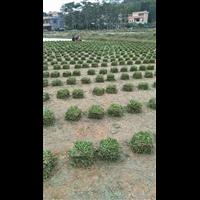 中山马尼拉草多少钱-中山马尼拉草种植基地