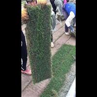 珠海马尼拉草哪家好-珠海马尼拉草大量批发