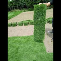 清远大叶草质量好-清远大叶草种植基地