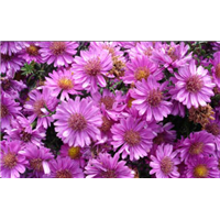 荷兰菊(皇冠紫)