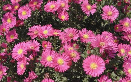 荷兰菊(丁香红)
