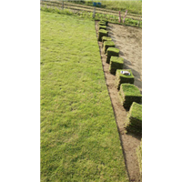 台湾草坪绿化草皮@台湾2号草坪主要特点
