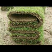 海南马尼拉草坪种植基地 _马尼拉草皮的适用范围