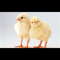 白羽蛋鸡优良鸡苗