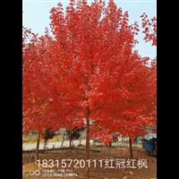 山东15公分红冠红枫价格