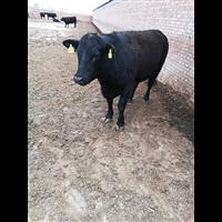 亿盛养殖丨肥羊