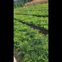 广西苏木药材种植