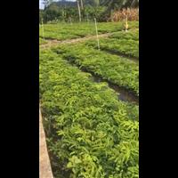 广西苏木种植