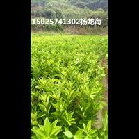 秀山县种植伦晚脐橙苗