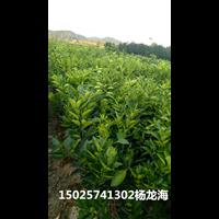 重庆纽荷尔脐橙苗大量供应