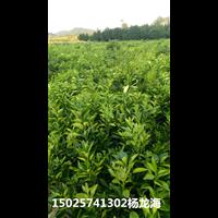 重庆秀山县种植纽荷尔脐橙苗