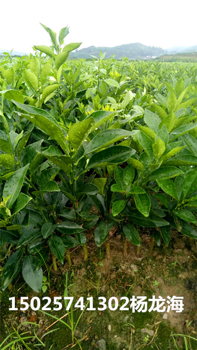 重庆纽荷尔脐橙苗