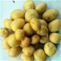 直销黄皮黄心小土豆