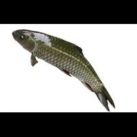 郑州草鱼种苗多少钱一斤