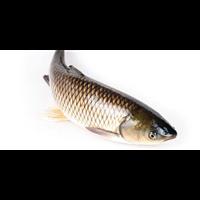 郑州草鱼种苗长年供应出售