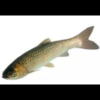 河南青鱼种苗|河南青鱼种苗养殖基地