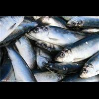 信阳青鱼种苗|信阳青鱼种苗批发基地