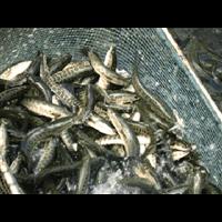 信阳黑鱼种苗,信阳黑鱼种苗多少钱一斤