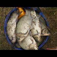 河南鲫鱼种苗多少钱一斤