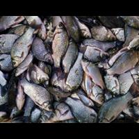 洛阳鲫鱼种苗多少钱一斤