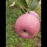昭通苹果销售