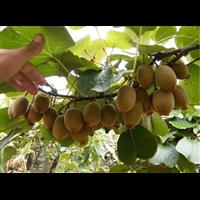 猕猴桃苗_湖北猕猴桃苗种植基地