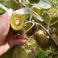 猕猴桃树苗