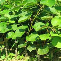猕猴桃种苗
