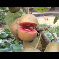 红心猕猴桃苗