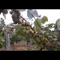 红心猕猴桃种苗
