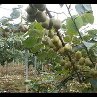 猕猴桃树苗价格