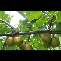 红心猕猴桃种苗价格