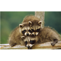 河南浣熊养殖中心全国出售