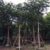 凤凰木直销|海南12公分优质凤凰木直销