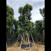【香樟树】香樟价格_贵州5公分香樟树批发