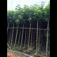 秋枫树/福建5公分优质秋枫树如何种植