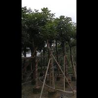 秋枫树|广西18公分优质秋枫树价格