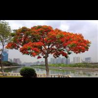 凤凰木多少钱一棵,贵州10公分优质凤凰木多少钱一棵