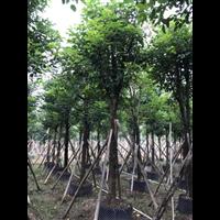 秋枫树,海南8公分优质秋枫树有哪些价值