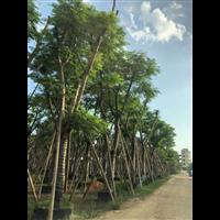 凤凰木种植基地_福建15公分优质凤凰木种植基地