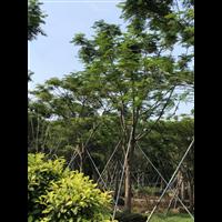 凤凰木苗木场|广西12公分优质凤凰木苗木场