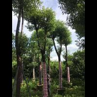 【香樟树】香樟报价_云南20公分香樟树种植基地